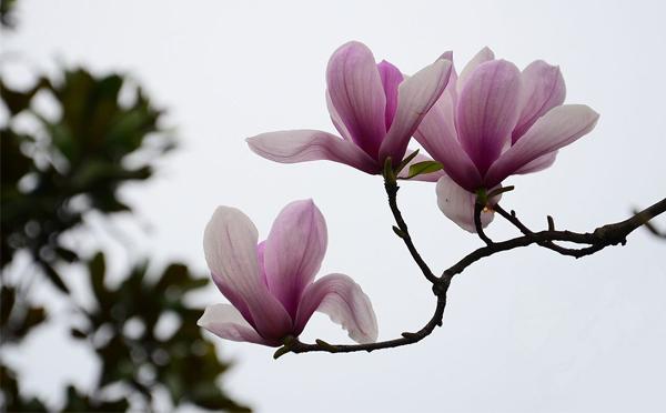 紫玉兰树叶片变成褐色怎么办?
