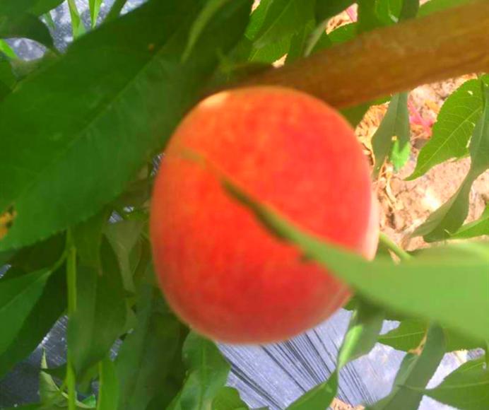 乌鲁木齐农家乐水果采摘