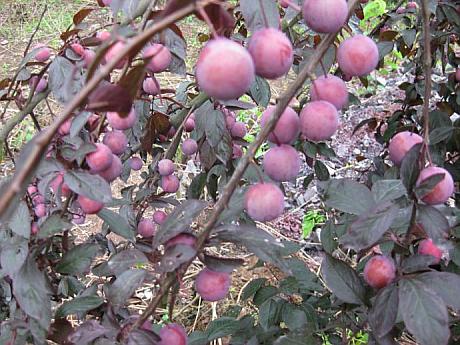 乌鲁木齐水果采摘基地