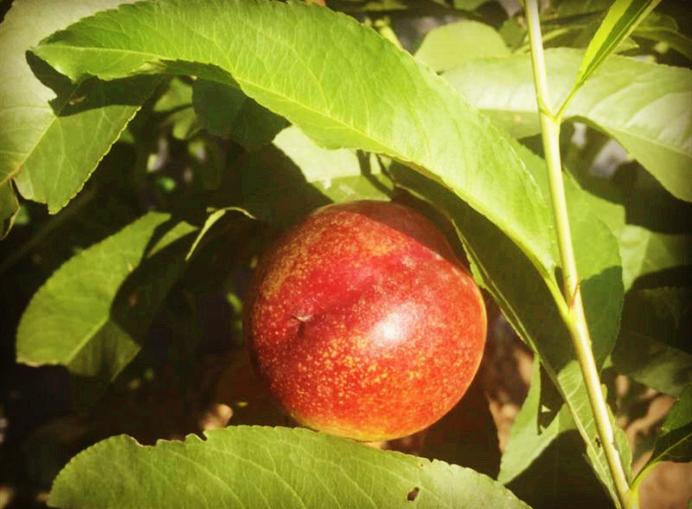 乌鲁木齐水果采摘园