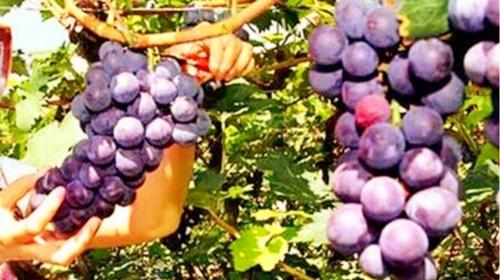乌鲁木齐农家水果采摘