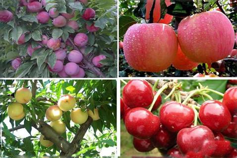 农家乐水果采摘