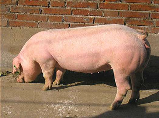 生态种猪价格