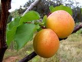 桃杏—杏子苗