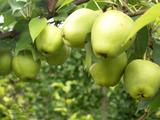 早酥—梨树苗