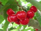 红灯—樱桃苗