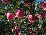 烟富3—苹果苗