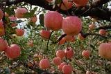 长富2—苹果苗