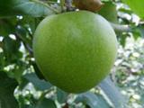 新冠—苹果苗