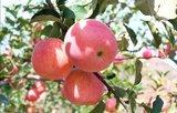 新帅—苹果苗