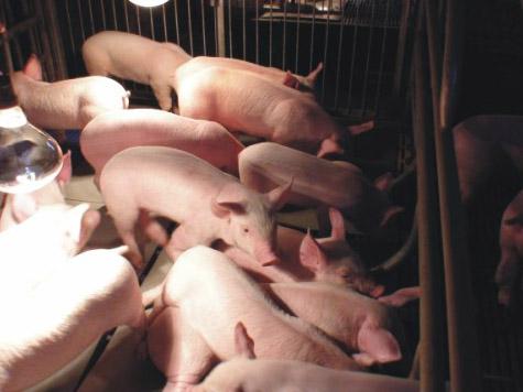 内蒙英歌天兆为您介绍养猪知识猪瘟篇