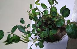 为何家里种植的盆栽月季小苗会出现叶片干枯的问题?