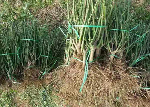月季小苗盆栽种植用土容易板结怎么办?