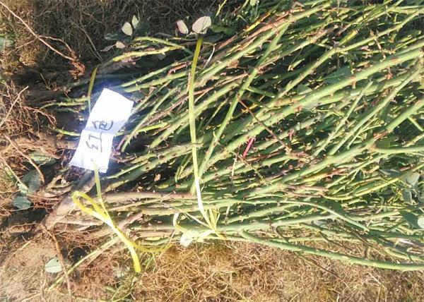 地栽种植月季裸根苗时这几点一定要注意