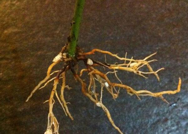冬天需要对家里种植的盆栽月季小苗进行修剪吗?