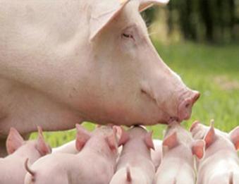 哈尔滨猪饲料哪个牌子好?哪个牌子的猪饲料好?