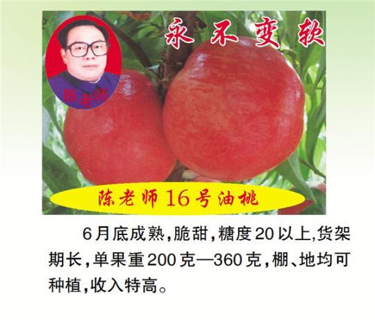 陈老师16号油桃