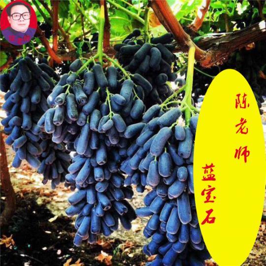 蓝宝石葡萄