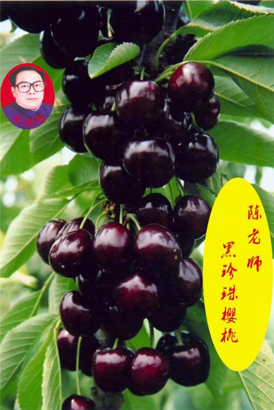 黑珍珠樱桃葡萄