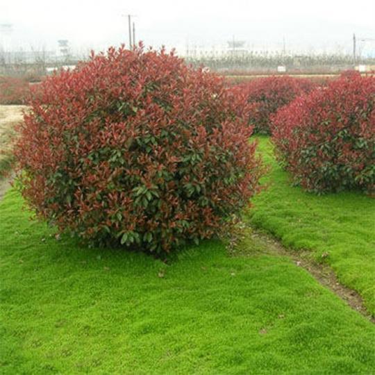 绿化灌木1