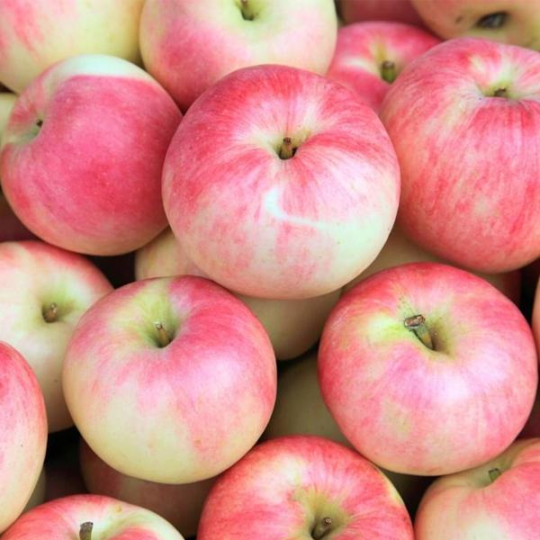 南阳苹果采摘后如何储存?