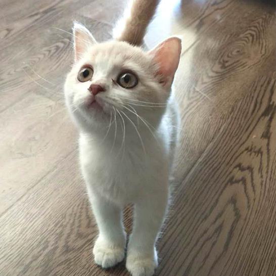 矮脚猫的猫窝有特殊需求吗北京矮脚猫养护洗护