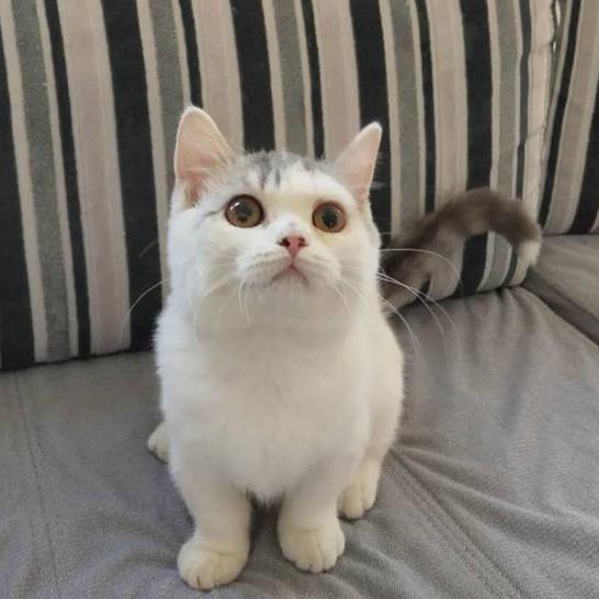 在北京想养矮脚猫哪家猫舍比较好