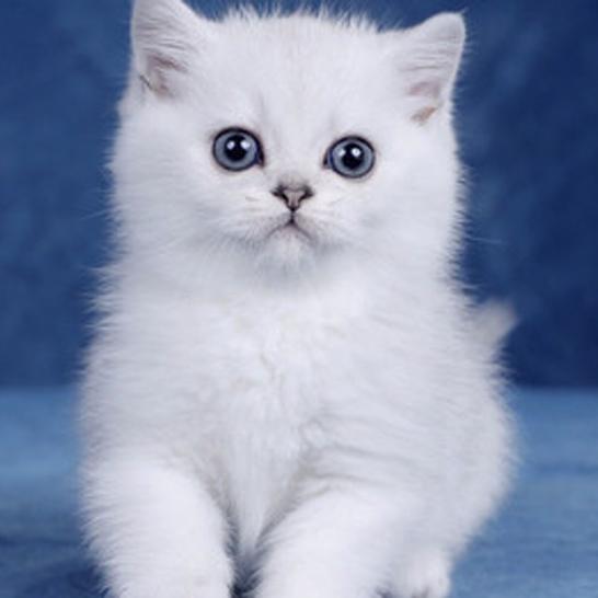 想养银渐层吗,北京猫咪洗护养护选哪家