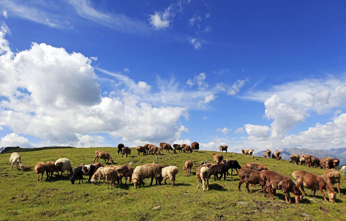 阿勒泰肉羊