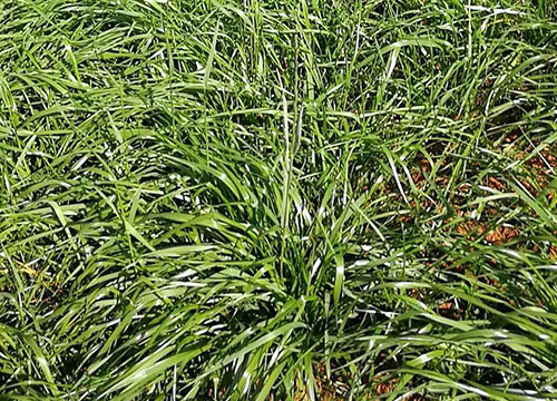 多花黑麦草种子