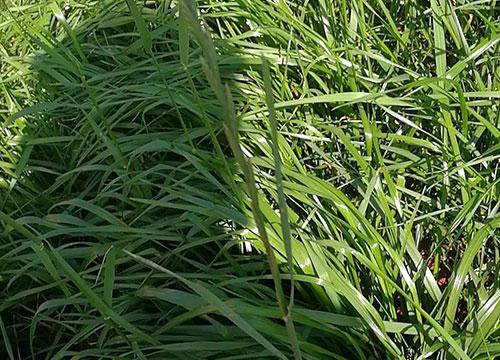 一年生黑麦草草种