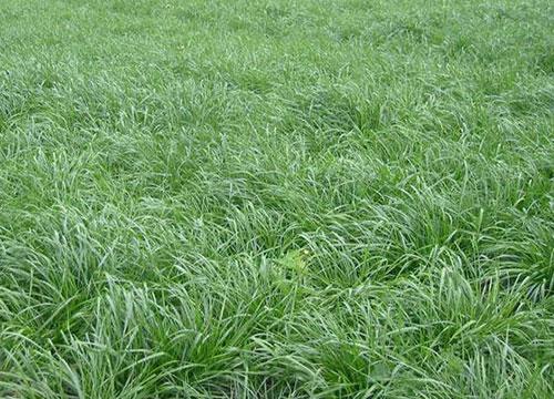 多年生黑麦草草种