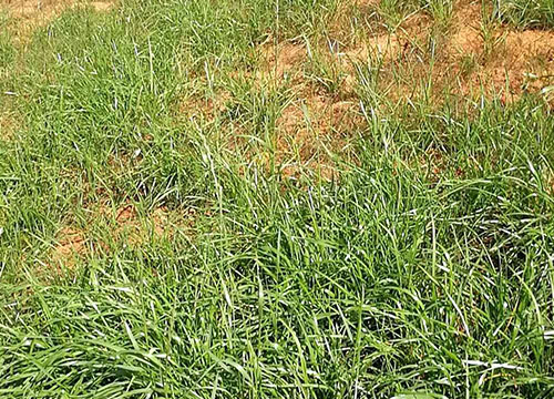 云南黑麦草种植厂家