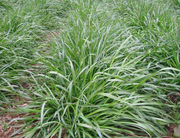 黑麦草种子价格