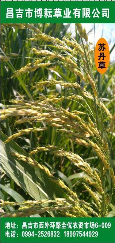 进口苏丹草种子