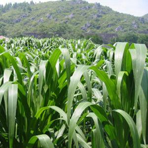 墨西哥玉米:拉丁学名:Purus frumentum