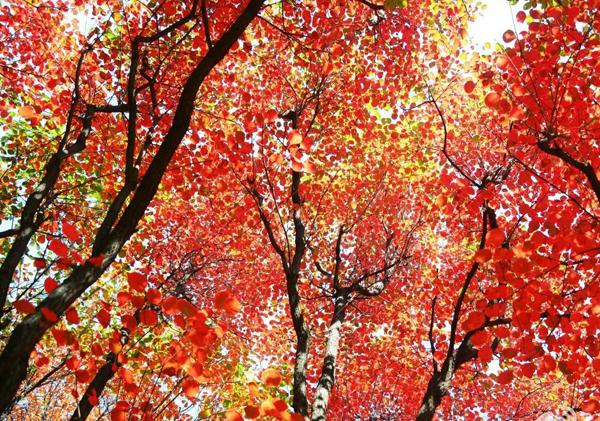 黄栌又称栌木、红叶,那么它的叶片秋天为什么会变红呢?
