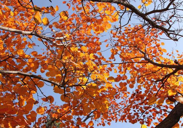 红叶黄栌盆栽种植你了解多少呢?