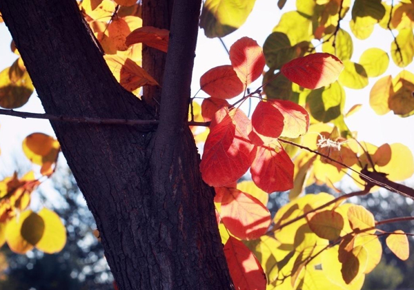 苗木种植基地讲述黄栌盆景的4大技巧:
