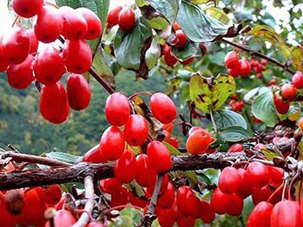 据说山茱萸是一味中草药,既可以泡茶还能做成饭菜?