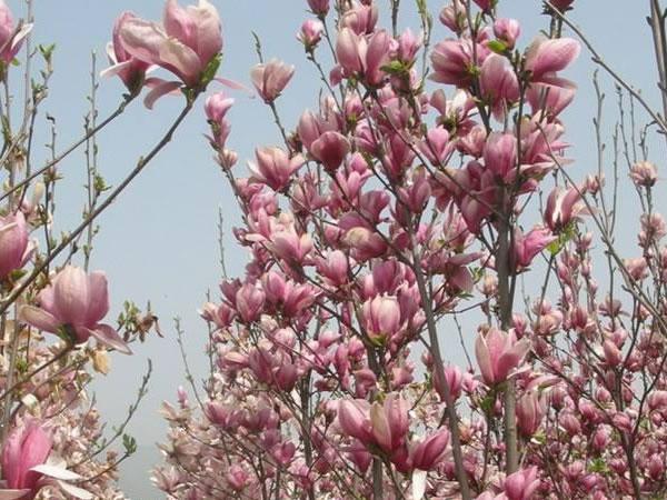 3公分紫玉兰树
