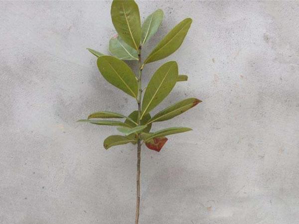 紫玉兰树小苗