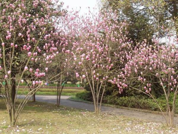 丛生紫玉兰