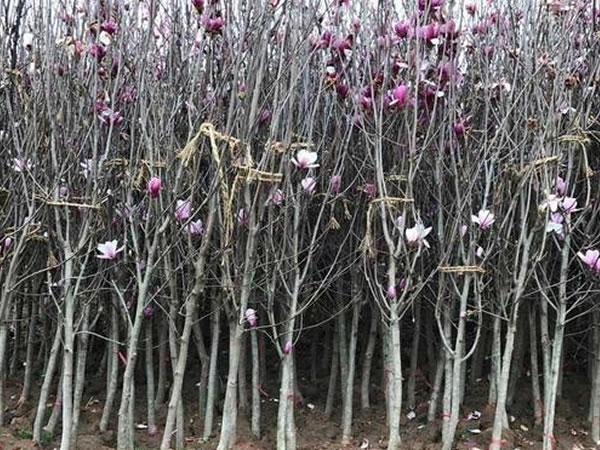 紫玉兰苗木批发