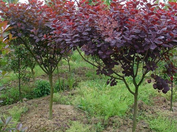 紫叶黄栌基地