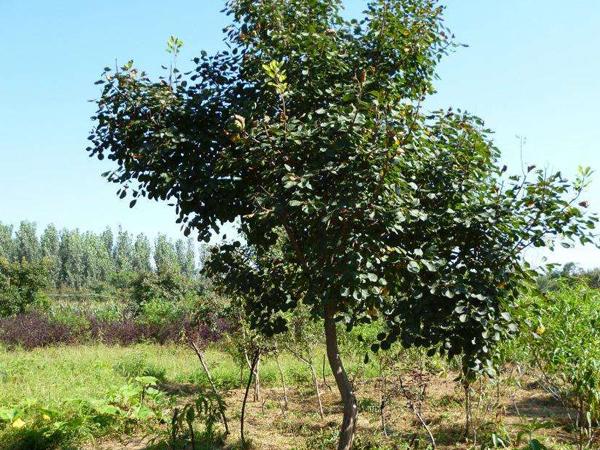 8公分黄栌树种植基地