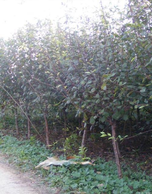 大量出售高杆10公分辛夷,黄栌树,山茱萸