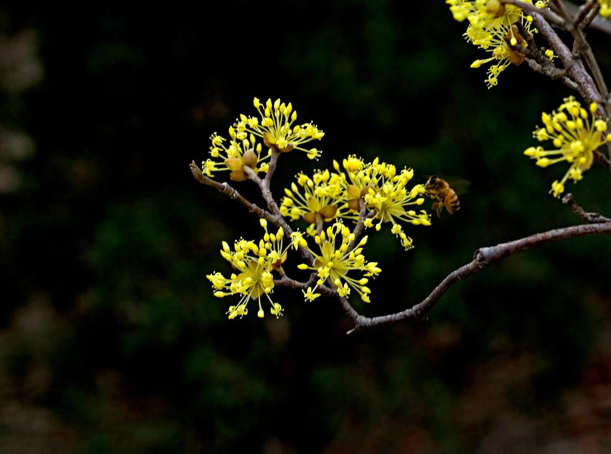 想要种好黄栌苗的话,就先需要知道黄栌苗是如何栽种的?