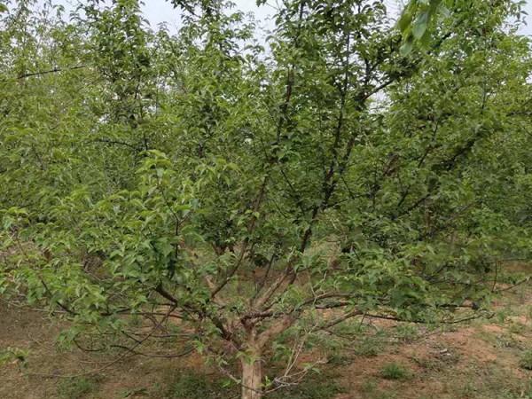 山茱萸树供应