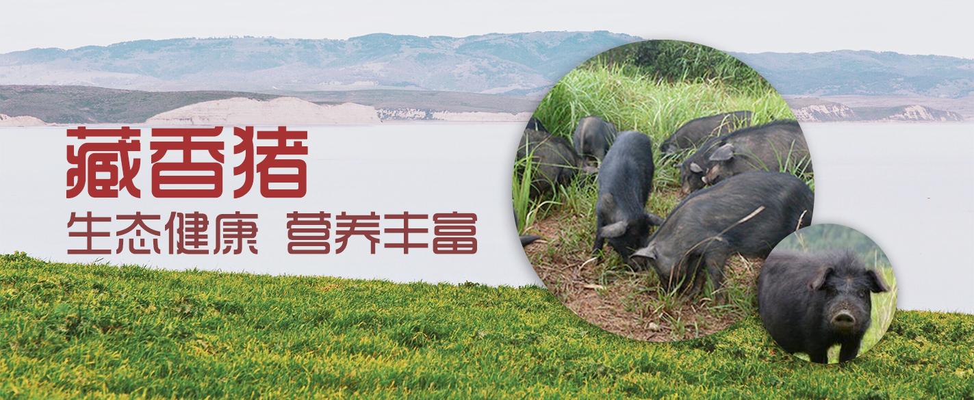江西藏香猪身边人的香猪梦